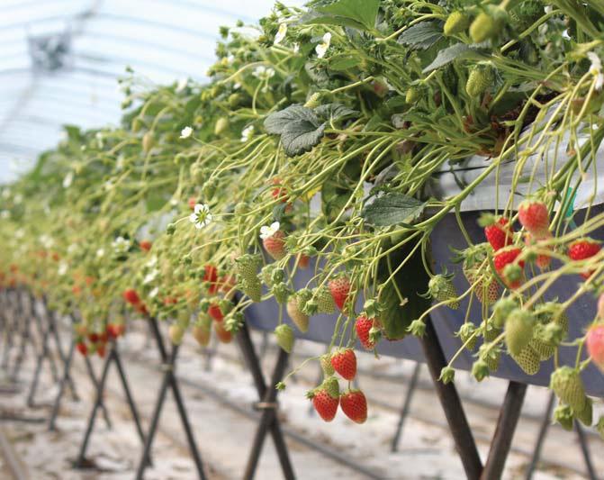 매향은 향도 좋고 당도도 높을 뿐아니라 경도가 좋아 수출에 좋은 우리 딸기다.
