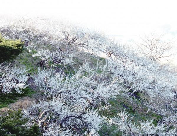 사진·박중춘(제3회 대산농촌문화상 수상자) 전남 광양 청매실농원에서