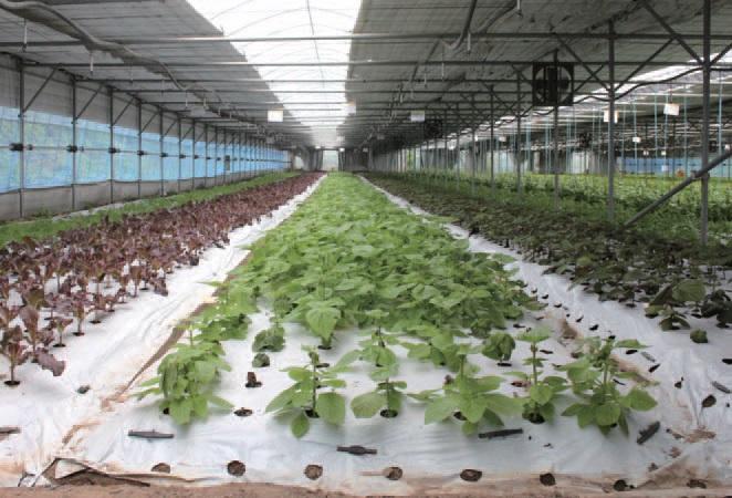 장안농장은 100여종의 쌈채소를 생산, 유통해 연간 100억 원대의 매출을 올린다.