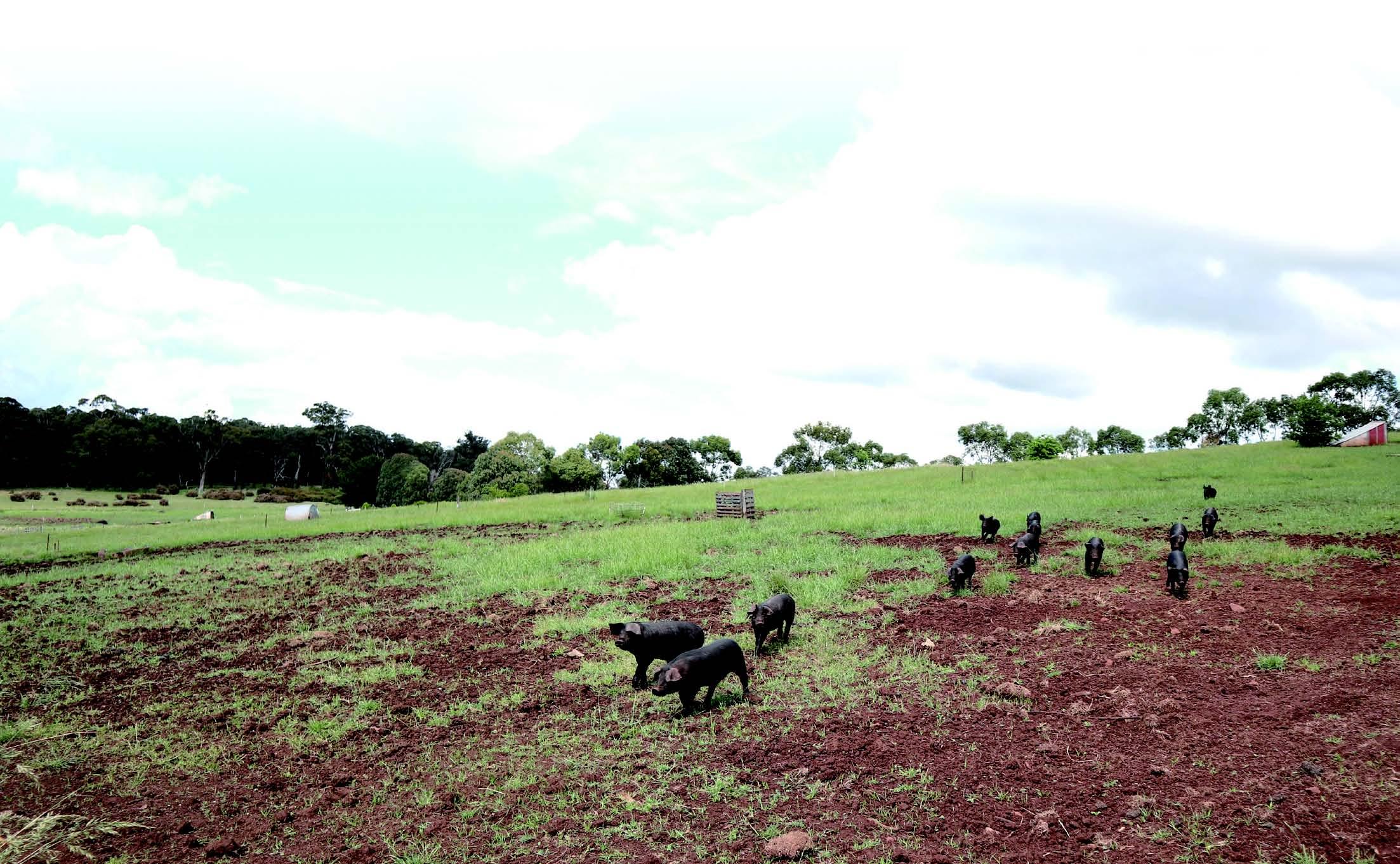 멀리서도 주인의 발걸음 소리를 듣고 마치 영화처럼 주인에게 달려오는 돼지들의 모습.