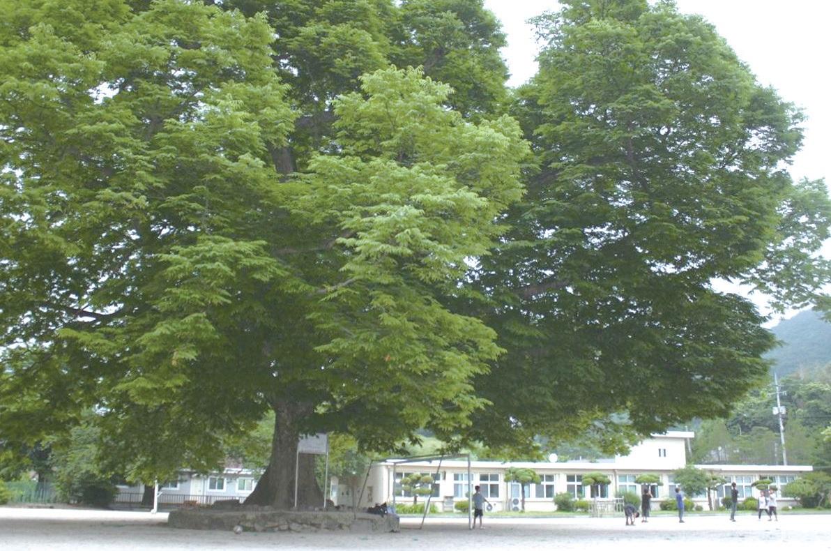마을의 중심, 소호분교 마당에 자리한 500년 된 느티나무. ⓒ소호산촌유학센터
