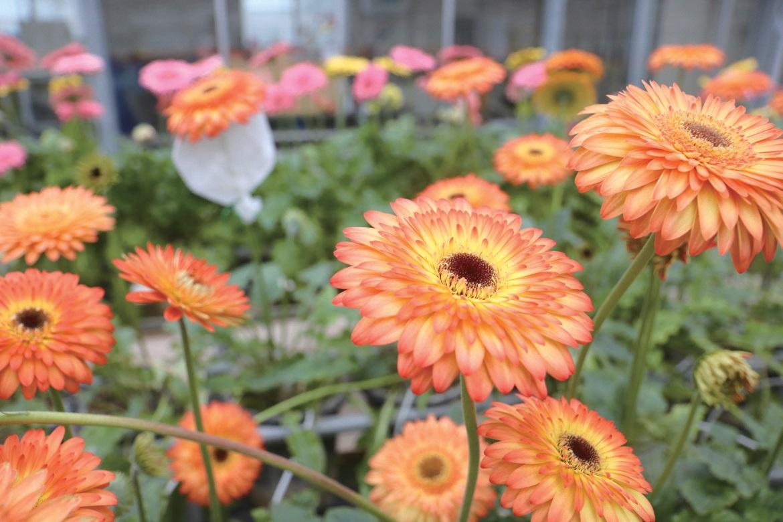 얼굴이 크고 화려한 꽃, 거베라는 화환용으로 인기가 좋다.