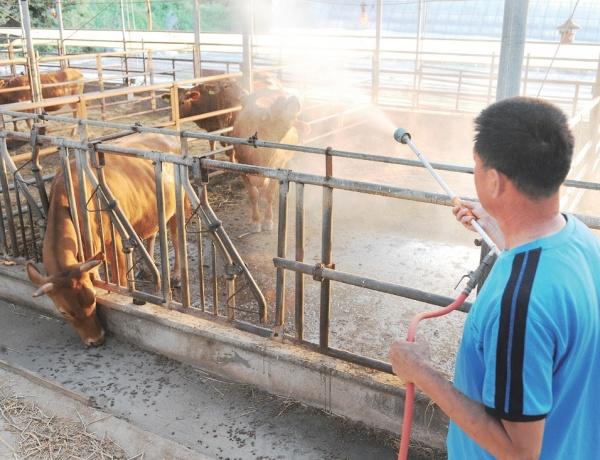 40℃에 육박하는 폭염이 계속되면서 축산농가에선 가축폐사를 막기 위해 더위와 사투를 벌이고 있다. 찜통더위가 기승을 부린 지난 7월 22일 충남 서산의 한 축산농가가 소의 더위를 식혀주기 위해 물을 뿌리고 있다. Ⓒ농수축산신문