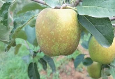 지난 4~5월 갑자기 발생한 냉해로 7~8월경 전국적으로 사과동녹 현상이 발생했다. 사진은 충남 예산 지역에서 동녹이 발생한 사과. Ⓒ농수축산신문
