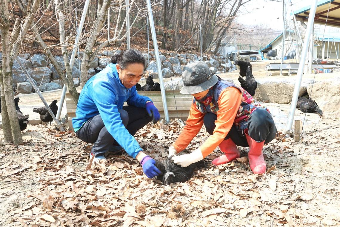 김종섭 대표와 이승숙 이사장은 오계 한 마리, 한 마리를 생명으로 살핀다. 지산농원에는 오계를 위한 병실, 응급실, 장애아실까지 따로 있다.