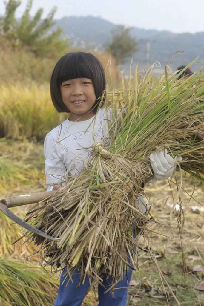 배바우작은도서관 아이들이 토종볍씨로 심은 벼를 수확하고 있다. ⓒ옥천신문