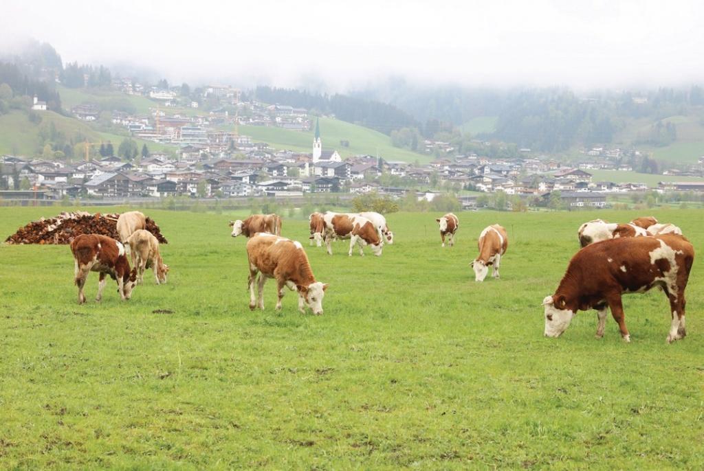 독일에서는 보통 1ha(3000평)당 소 1마리를 키우게 되어있다. ⓒ대산농촌재단