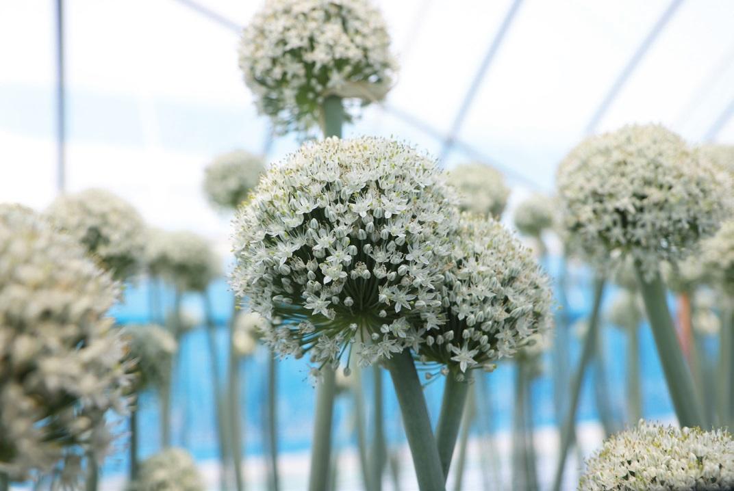 양파 꽃줄기는 키가 1m가량 자란다. 줄기 끝에 공처럼 둥근 모양으로 수많은 꽃이 빼곡히 모여 피어난다.
