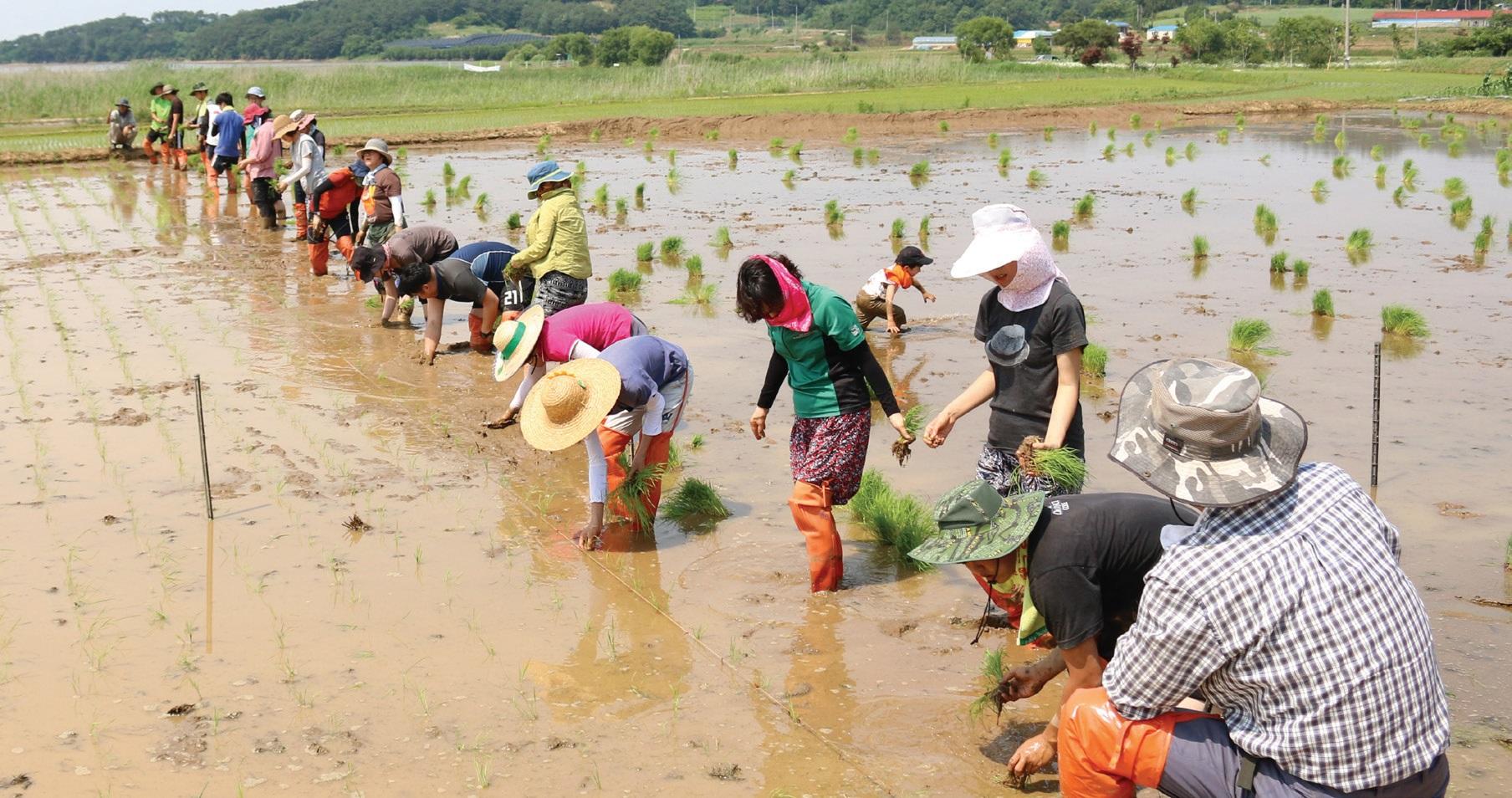 충남 홍성군 농민들이 지역 학생들과 함께 모내기하는 모습. ⓒ협동조합젊은협업농장