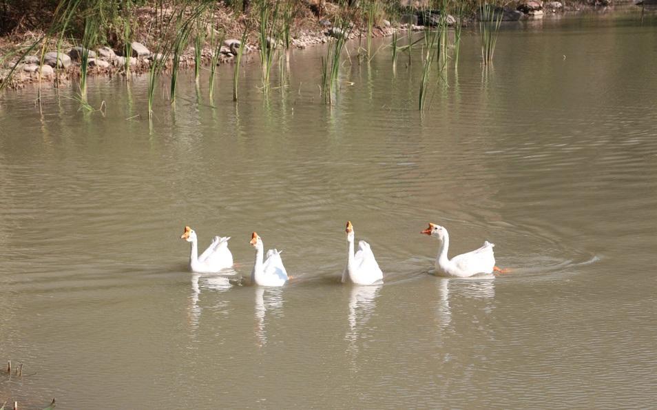 호숫가에서 만난 씩씩한 백조 무리.