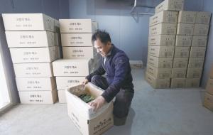 박대열 씨가 출하하지 못한 채 보관 중인 시금치 상자를 열어보고 있다.