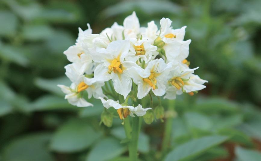 감자 속이 하얀 '단오'는 꽃도 흰색이다.