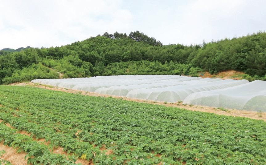 해발고도 700~800m에서 망실재배로 생산하는 무병씨감자.
