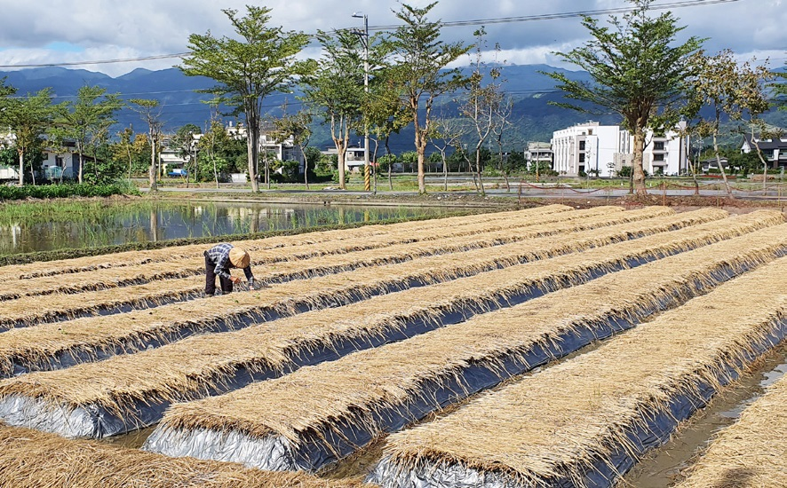 션꺼우 마을의 대표 농산물은 쌀이다.