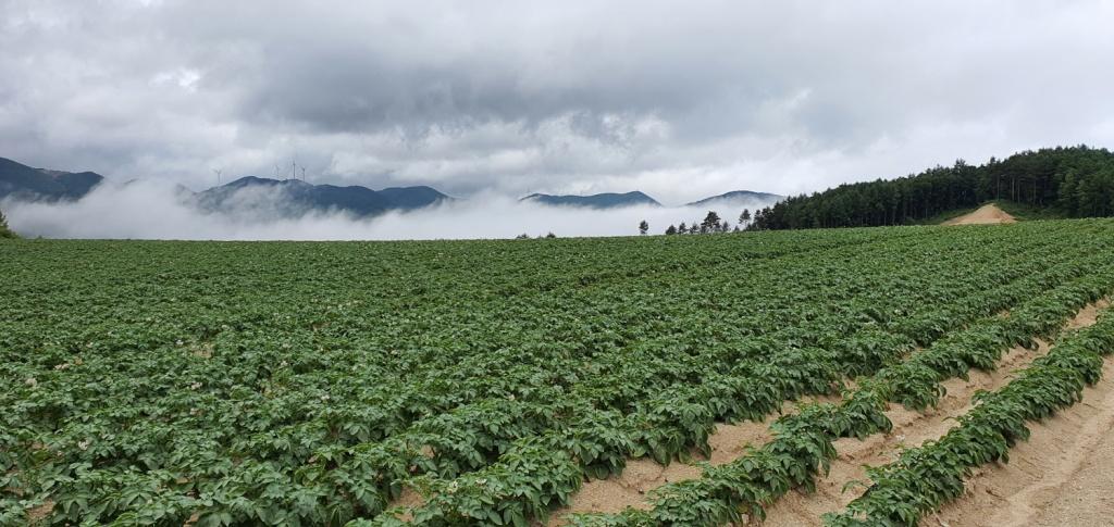 강원 강릉, 감자밭에 운무가 내려앉았다.
