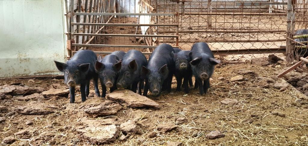 전남 무안, 자가 사료를 먹이고 방목하는 돼지는 점점 더 보기 힘들 모양이다.